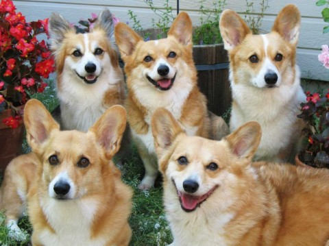 Corgis With the Most Adorable Expressions