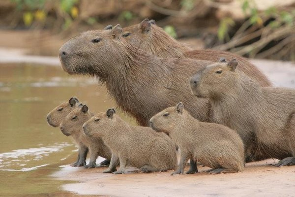 Capybaras are Friends With Everyone!