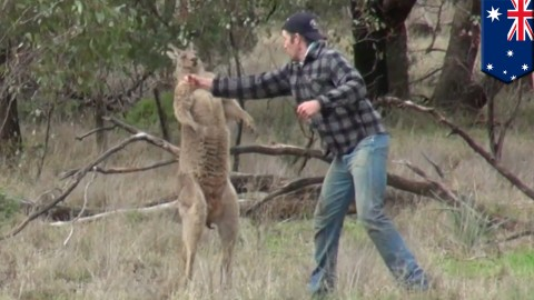 Australian Man Punches Kangaroo to Save Pet Dog