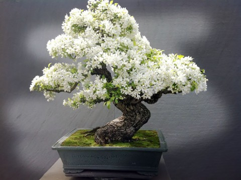 Bonsai Trees: Growing Miniature Art