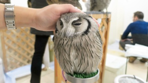 Japanese Man Trains His Pet Owl to Fetch and The Results Are Hilarious